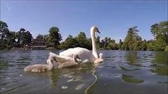 Le lac des cygnes, se joue au bois de Boulogne - france webcams kap.fr